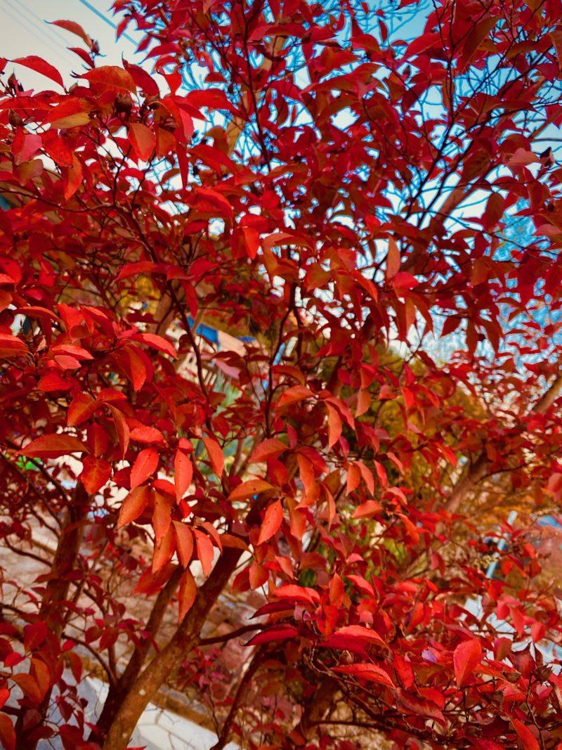 シャラの木紅葉